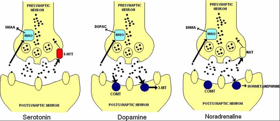 چهار ژن مرتبط با آنزیم های کد کننده دوپامین و سروتونین که بیشترین اهمیت را در مطالعات اخیر داشته اند شامل ژن های انتقال دهنده های عصبی (MAOA and COMT) ، ناقلین سروتونین (5HTT) و گیرنده دوپامین (DRD4) می باشند.