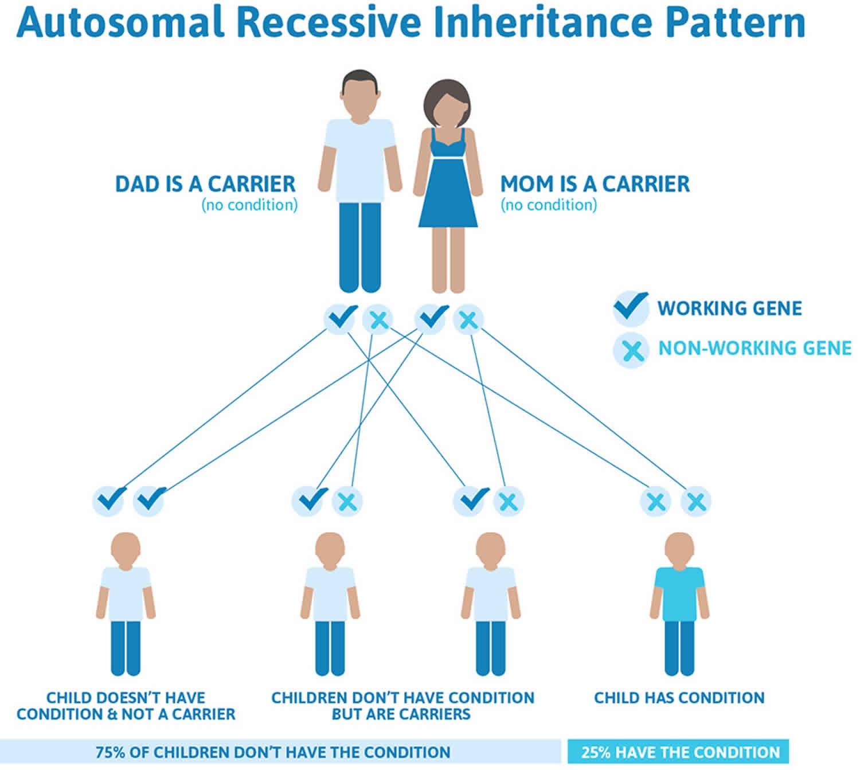 به طور کلی تالاسمی با الگوی وراثت اتوزومال مغلوب به ارث می رسد. بیشتر افرادی که تالاسمی بتا هستند دارای موتاسیون در هر دو کپی ژن HBB در هر سلول می باشند. والدین فرد بیمار معمولا یک کپی جهش یافته از ژن را دارد و به عنوان ناقل یا هتروزیگوت شناخته می شود. ناقلین معمولا علامت یا نشانه ای را ندارند اگرچه بعضی ناقلین بتا تالاسمی آنمی ملایمی را نشان می دهند. هنگامی که دو ناقل با الگوی وراثت اتوزومال مغلوب بچه دار می شوند هر فرزند با احتمال 25% (1 فرزند از هر 4 فرزند) احتمال تالاسمی ماژور ، 50% احتمال ناقل بودن و 25% شانس نداشتن این بیماری و سالم بودن را دارند.